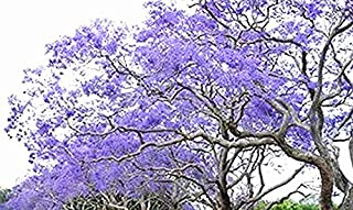 Golden autumn farm- 25 BLUE JACARANDA TREE Jacaranda Mimosifolia Seeds/Excellent As Bonsai