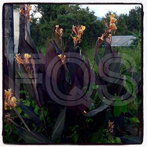 Portal Cool 15 X Tropical Canna Samen Intrigue Hybrid Orange Flower Lila/Grün-Blätter