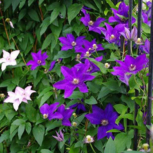 100 Stück Clematis Samen Blumensamen, blaue Farben Blumensamen Mehrjährige Blumentöpfe Samen Zierpflanzensamen Bonsai für Barkon, Garten