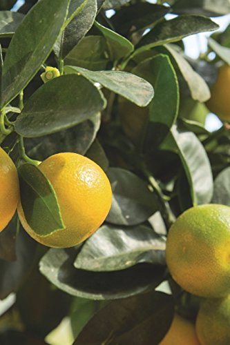 Calamondin Branch Journal: 150 page lined notebook/diary