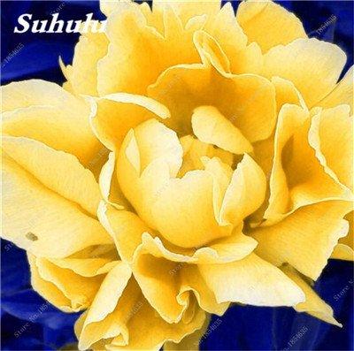 Nouveau! 10 Pcs Pivoine Graines Paeonia suffruticosa Andrews Mix Couleurs Indoor Bonsai fleur pour jardin des plantes Pivoine Graines de fleurs 14