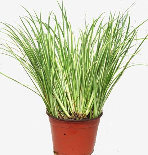 Acorus gramineus Variegatus - Kalmusgras -Ziergras- 12 cm Topf - Balkon-Garten-Wasser-pflanze, immgrün winterhart