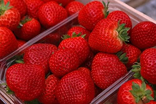 Korona-erdbeerpflanzen - 10 Topf Wurzelstecklinge, die mit Blättern verwurzelt sind. Direkt aus dem Gewächshaus. Mit einem Gesundheitspass. Erdbeeren. Erdbeersetzlinge/Erdbeerstecklinge