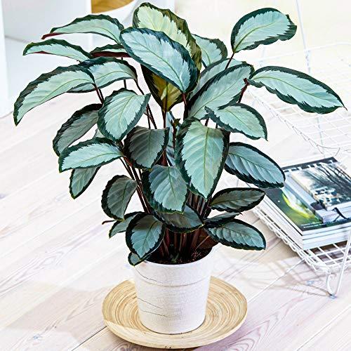 30-40 cm Calathea picturata \'Argentea\' Panaschierte Silberne Zimmerpflanze im Topf