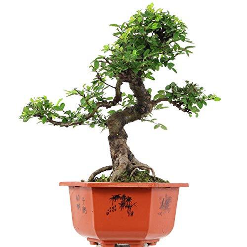 Chinesische Ulme, Bonsai, 15 Jahre, 53cm