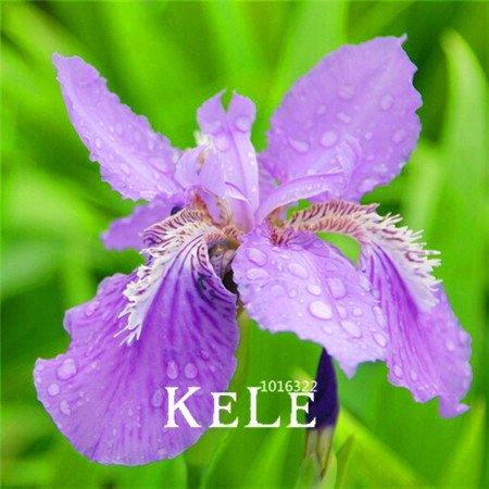Big Promotion! 50 graines / semences Sac rose Iris, fleur populaire de jardin de vivaces, magnifiques fleurs coupées, # P752IN