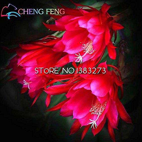 Multicolore: 2016 50Pcs rares chinois Epiphyllum Oxypetalum Graines Nuit Blooming Cereus Bonsai Fleur Jardin Décoration plantes