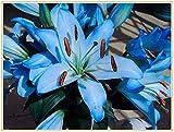 Lilien zwiebeln,Oriental importierte seltene blaue Lilienknollenserie, mehrjährige, reiche Blumenliliensorten, leicht zu pflanzen und leicht zu retten-3knolle
