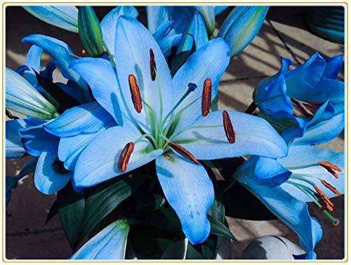 Lilien zwiebeln,Oriental importierte seltene blaue Lilienknollenserie, mehrjährige, reiche Blumenliliensorten, leicht zu pflanzen und leicht zu retten-2zwiebeln