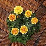Yumhouse Semillas de Flores para Jardin,Tablet Pong seed-500 Capsules_Orange,Semillas de Flores Exterior trepadoras