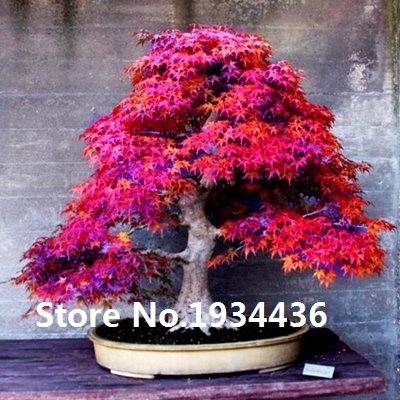 Plantes 10kinds Maple Graines Bonsai arbres pot jardin japonais Maple Seeds 10 Pieces / lot