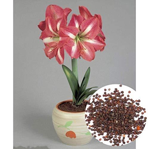 Kisshes Seedhouse - 50pcs Graines de Amaryllis naine 'Valencia' grainé fleur jardin plante d'intérieur Plantes Vivace