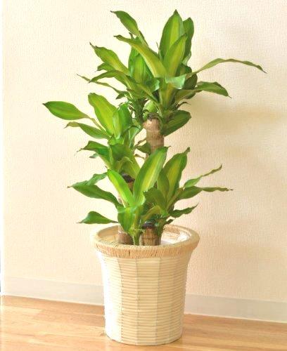 幸福の木 ドラセナ マッサン 7号鉢 インテリアバスケット 観葉植物 インテリア グリーン
