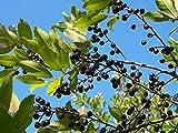 Cherry Laurel Carolina Laurelcherry Prunus Caroliniana 10 Seeds