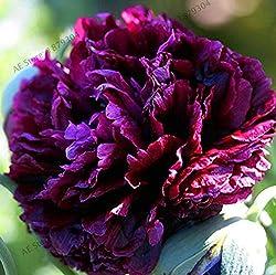 Pfingstrosen in tiefem Violett