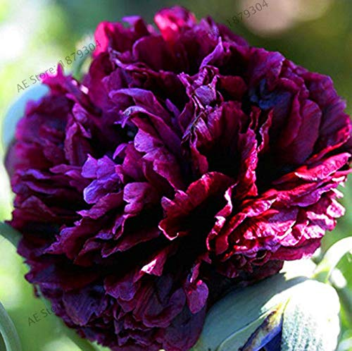Bloom Green Co. New 2018 10cs & # 39;! Walter Mains & # 39; Baum-Pfingstrose Bonsai, Seltene schöne Garten-Blumen-Pflanze Mix Farbe Paeonia Suffruticosa-Land Mirac: 21
