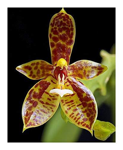 Phalaenopsis cornucervi - orchidée - 100 graines