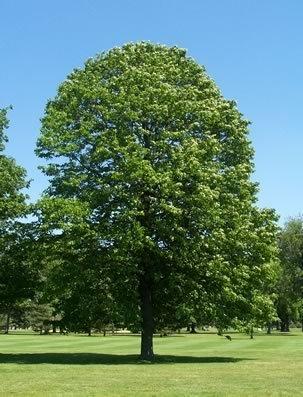50 amerikanischen Lindenbaum-Samen, Tilia Americana