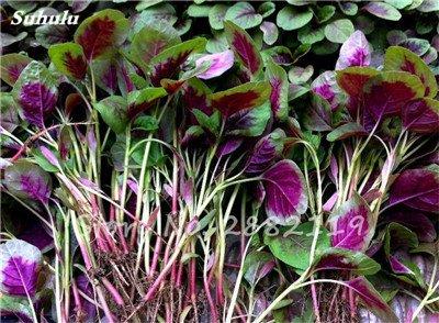 Herb Amaranthus Tricolor Seeds 50 Pcs graminée Semente non Ogm végétale comestible Bonsai Plante en pot sain sucré 11