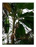 Himalaya Banane 10 Samen -musa sikkimensis -Robust und Frosthart-