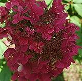 Wim's Red lockt mit ihren dekorativen Blüten zahlreiche Schmetterlinge an und duftet dabei wundervoll nach Honig Der Farbverlauf von Weiß über Rosa bis ins dunkle Rot zeichnet diese Rispenhortensie aus - Vom Juli bis in den Herbst bietet sie ein beei...