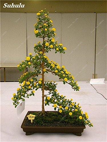 120 Pcs Tapissant Chrysanthème African Seeds Mixed Daisy vivace Bonsai Graines de fleurs Plante en pot pour jardin 10