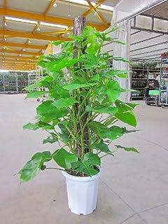 モンステラ 10号(尺鉢・大鉢)ハート型の大きな葉がモダンでスタイリッシュで大変人気の観葉植物です。大きい10号鉢サイズで高さも約150cmありますので、お部屋のインテリアや玄関・エントランスなどのウェルカムグリーンに最適です。