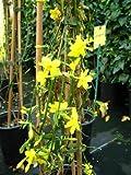 echter Winter Jasmin Jasminum nudiflorum 60 cm hoch im 2Liter Pflanzcontainer -