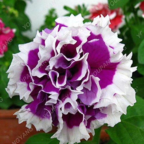 200 pcs/sac double Petunia Graines Balcon Oblique Petunia pot de fleurs Graines Bonsai Pétunia multi-couleurs végétales pour jardin Rose
