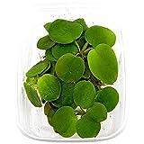 10 x Limnobium laevigatum folating Plants Against Algae - Piante Vive per Acquario