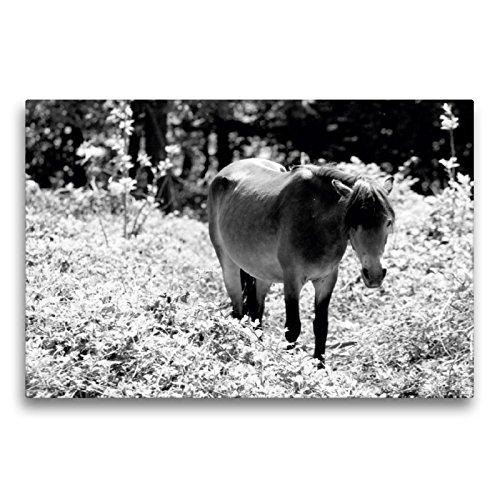 CALVENDO Premium Textil-Leinwand 75 x 50 cm Quer-Format Exmoor Pony Stute, Leinwanddruck von Meike Bölts