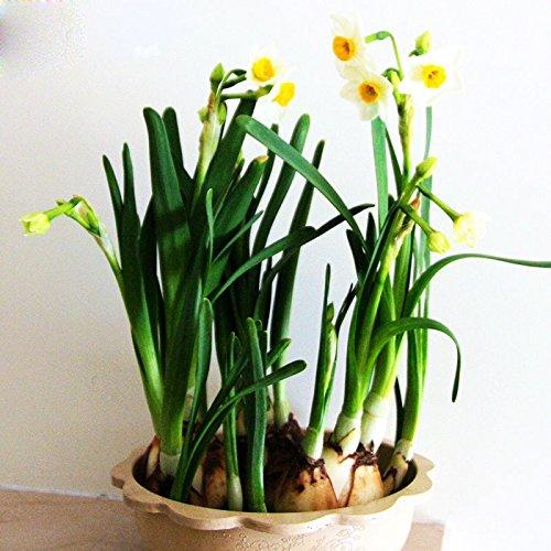 Hot Sale Beau Blanc Jonquilles Beau Graines Bonsai jonquille Fleur Clean Air Narcissus Graines Fleurs Chambres 120pcs