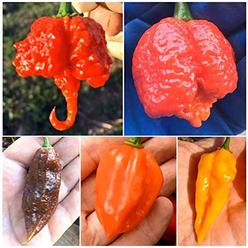 50 GRAINES PURE de les PIMENT CHILI LES PLUS PIQUANT, SAVOUREUX et BONNES DU MONDE, LA COLLECTION 5 BIS: CAROLINA REAPER, TRINIDAD MORUGA SCORPION RED, BHUT JOLOKIA - GHOST CHILI CHOCOLATE, HABANERO RED SAVINA, FATALII - LES FRUITS NE SONT PAS INCLUSES