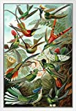 Trochilidae Gerahmtes Poster mit Kolibri-Motiv, Ernst