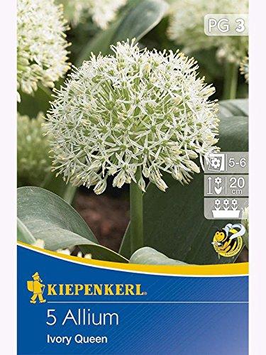 Zierlauch Allium karataviense Blauzungenlauch Ivory Queen weiß