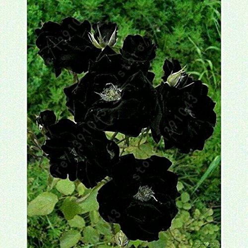 10PC graines de pivoine noir. Les plus belles et odorantes des graines de fleurs de jardin. Pot fleurs plantes ornementales