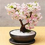 Bloom Green Co. 10 Unids Multi Color Flores de Cerezo Bonsai Bonsai JaponÃs Sakura DIY Home Garden Flores Hermoso Cerezo Perenne: 5