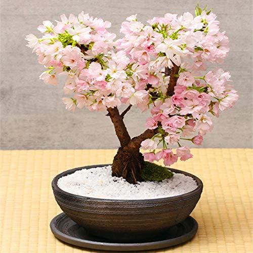 Bloom Green Co. 10 Unids Multi Color Flores de Cerezo Bonsai Bonsai Japonés Sakura DIY Home Garden Flores Hermoso Cerezo Perenne: 5