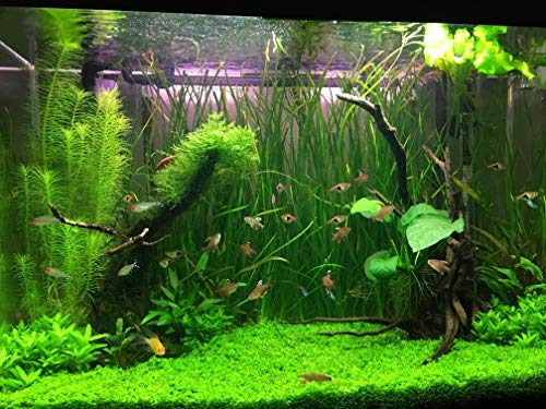Vajra Aquarium Plants Seeds Mixed and Water Grass Seeds - Pack of 150