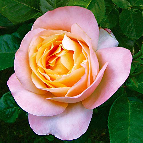 Rosa grandiflora Isabelle Autissier   Large-Flowered Rose Bush   Pink-Yellow Flowers   Bare-Rooted   Height 22cm