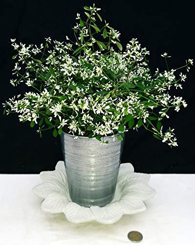 Euphorbia Diamond Frost in Keramik-Topf, Silber und weißer Untersetzer