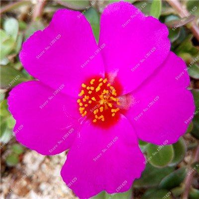 Coloré Portulaca semences, rose moussue Graine pourpier Double Flower Heat Tolerant, facile Semer des graines de fleurs d'extérieur 100 pcs/lot 9