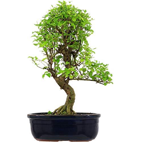 Chinesischer Liguster, Bonsai, 18 Jahre, 57cm