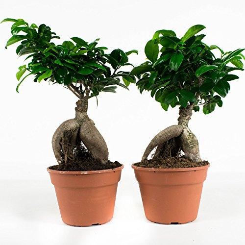 Bonsaïs de Botanicly – 2 × Bonsaï – Hauteur: 40 cm – Ficus Gin Seng
