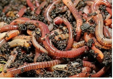 Wurmdaddy 250 Kompostwürmer, Gartenwürmer, Regenwürmer, Eisenia, Wurmkiste, Wurmcafe, zur besseren Kompostierung von Bio Resten und