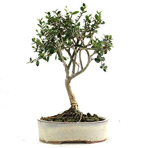Bonsái, Olivo, Olea europaea sylvetris, 7 años, altura 24 cm