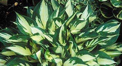 2016Sementes Blumensamen Funkien Samen Fire und Ice Schatten Mehrjährige Pflanzen Wegerich Blume Bonsai Home Garten Bodenbedeckung Pflanze Samen