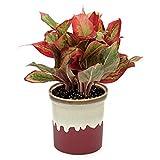 Poudha. Com Aglaonema Chinese Evergreen Indoor Plant