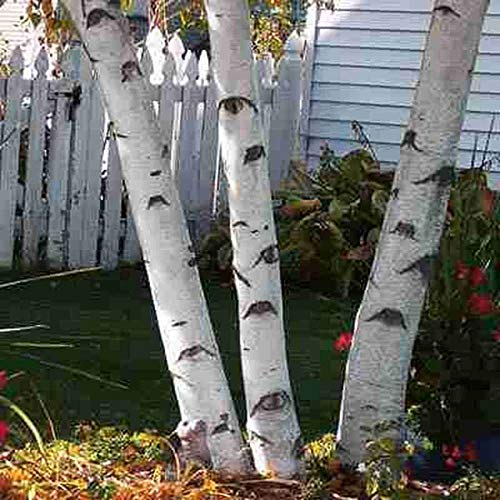 White Paper Birch Tree Seeds for Planting | 100+ Seeds | Highly Prized for Bonsai, Paper Birch Tree - 100+Seeds