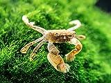 Aquatic Arts 1 Live Freshwater Pom Pom Crab | Real Living Nano Aquarium Fish Tank Pet | Betta |...